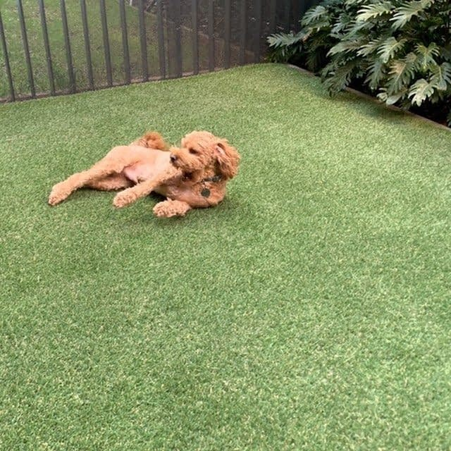 Look how happy this little furry friend is! Enjoying our popular & natural looking Centennial 35mm product. This job was installed beautifully in Balmain Sydney by Flower Power Garden Care. Fantastic work from the team! #FlowerPowerGardenCare #FlowerPower #FieldTurfAustralia #Sydney #SyntheticGrass #SyntheticTurf #HappyDog #Puppy #Residential #AustralianMade #Centennial35